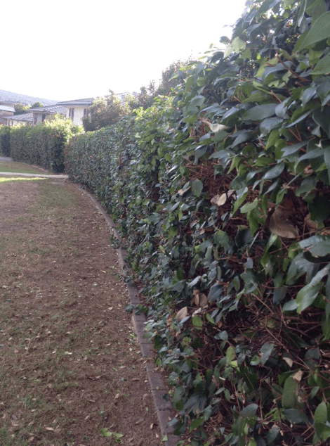 Glenmore park, Parimeter hedge 2